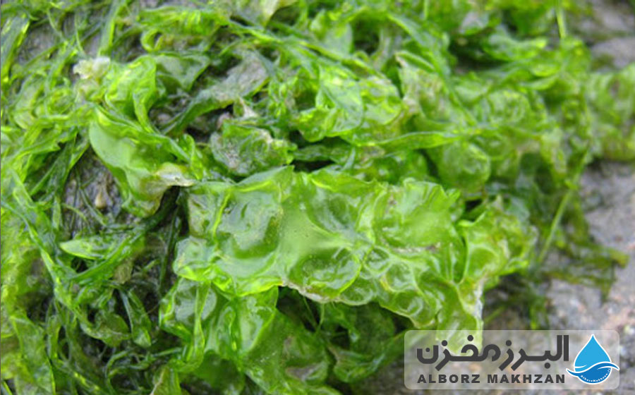 اثرات جلبک مخزن آب بر گیاهان